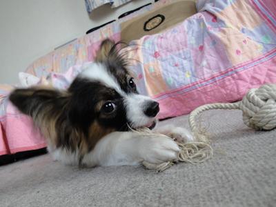 ロープのおもちゃを噛むノア
