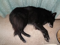 ソファーの後ろで寝るキャンティ