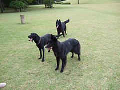 ボールを待つ黒犬たち