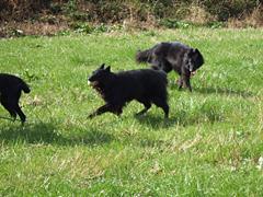 走り回る黒犬たち1