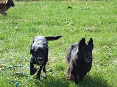 走り回る黒犬たち2