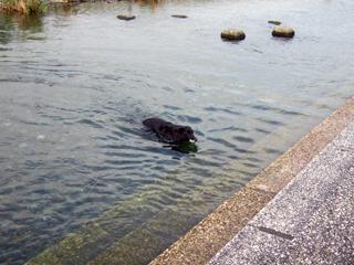 キャンティはオモチャがあれば泳ぎます