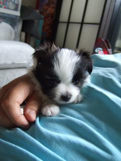 パピヨンの子犬2