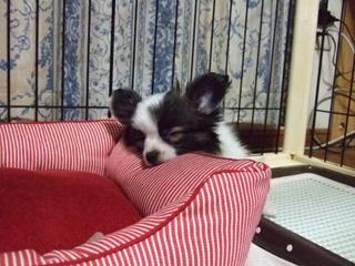 ホッピー、爆睡中。