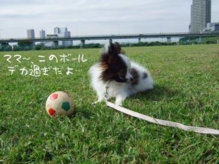 パピヨンの子犬には大きすぎるボール...