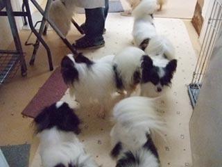 パピヨン成犬1
