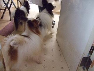 パピヨン成犬2