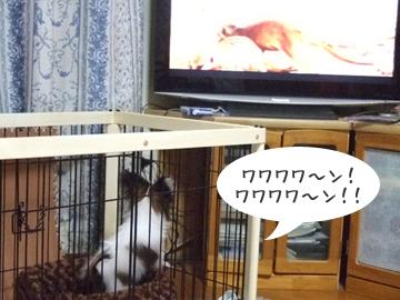 テレビに向かって吠えるやつ