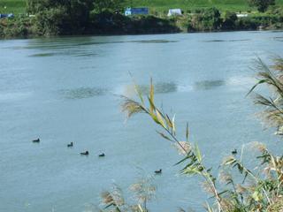 多摩川の鴨