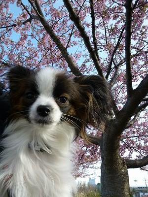ホッピーと河津桜