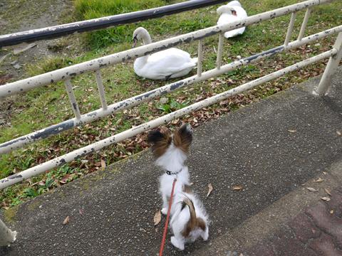 白鳥を見るホッピー