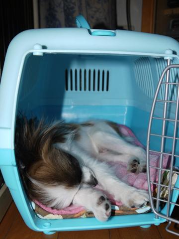 クレートで寝るホッピー