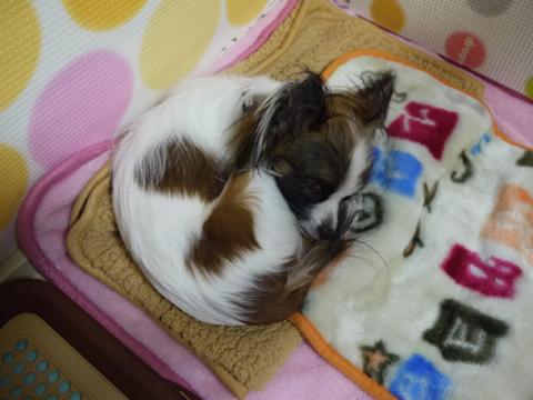 サークルで寝るホッピー