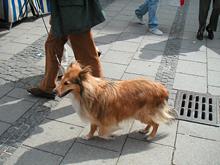 ミュンヘンで見かけたシェルティ