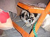 椅子の下の犬