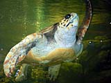 上海動物園のウミガメ
