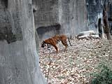 上海動物園の虎