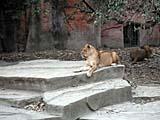 上海動物園のライオン