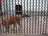 上海動物園の狼1