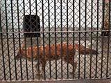 上海動物園の狼2