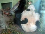上海動物園のパンダ1