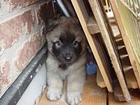 タービュレンの子犬