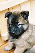 タービュレンの子犬2