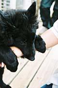 グローネンダールの子犬