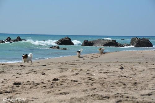 浜辺を走るパピヨンたち