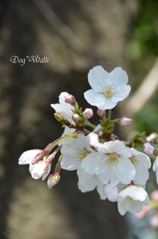 桜@多摩川