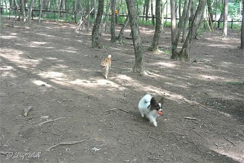 柴犬とノア