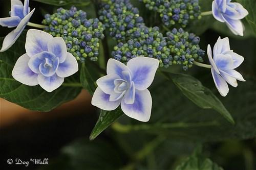 コンペイトウ(紫陽花)