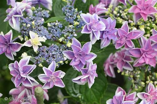 ピーターパン(紫陽花)