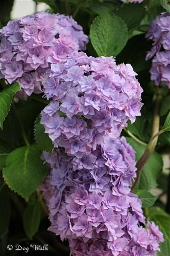 ギャラクシー(紫陽花)