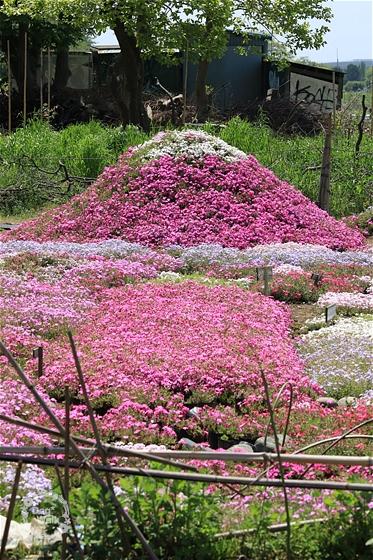 富士山をかたどった芝桜