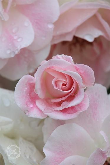 ホワイトピンクのバラ