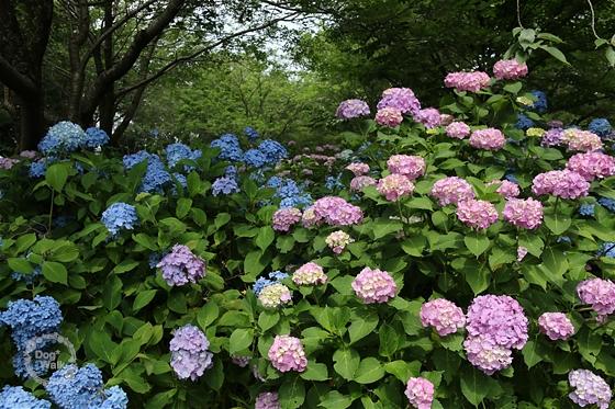 青とピンクの紫陽花