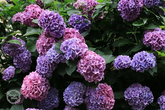 ピンク~パープルの紫陽花