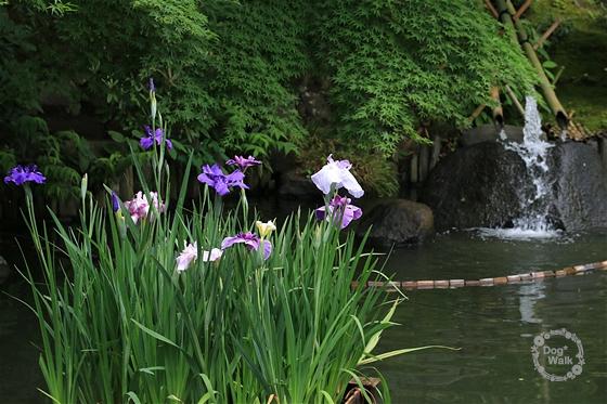 長谷寺の花菖蒲