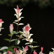 ピンクの葉っぱ