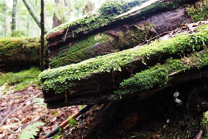 日光白根山の苔