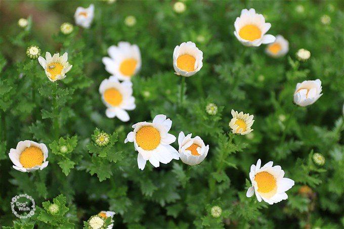 白い花びらが可愛いノースポール