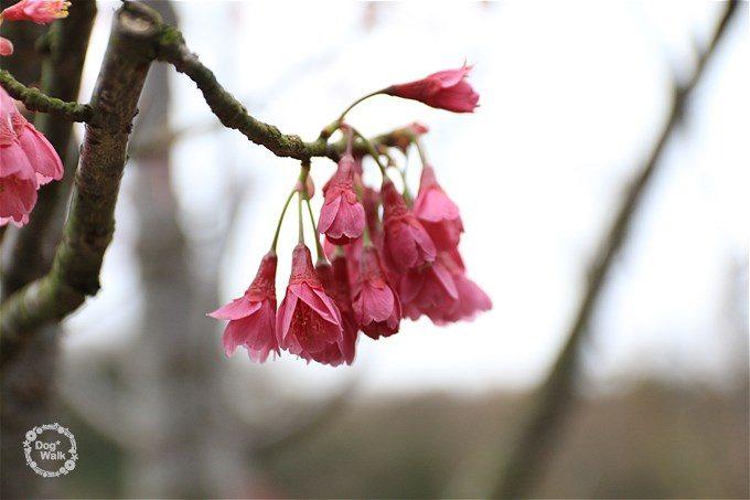 濃いピンクの寒緋桜