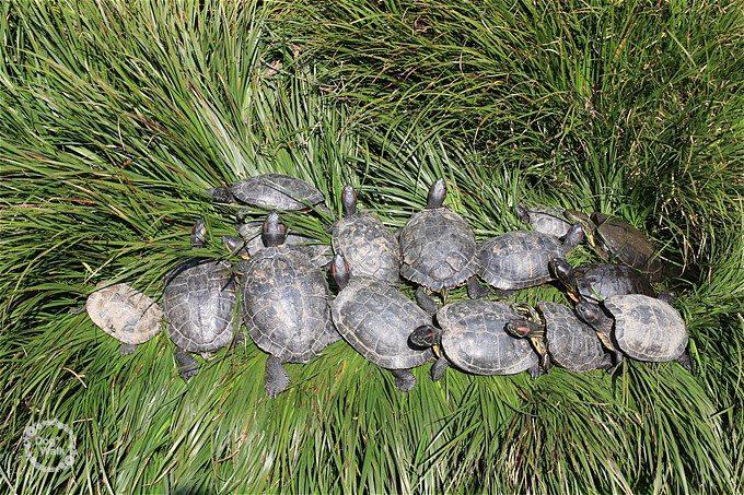 六郷用水の亀たち