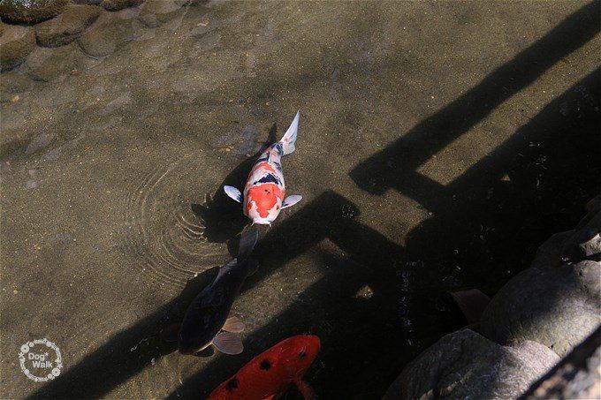 六郷用水の鯉たち