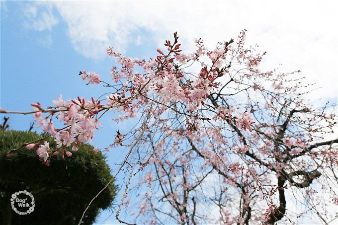 密蔵院の枝垂桜