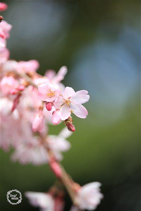 枝垂桜のアップ