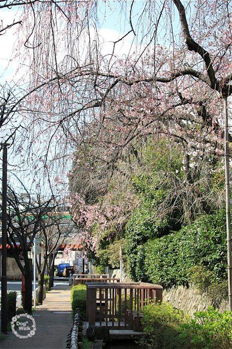枝垂桜全体