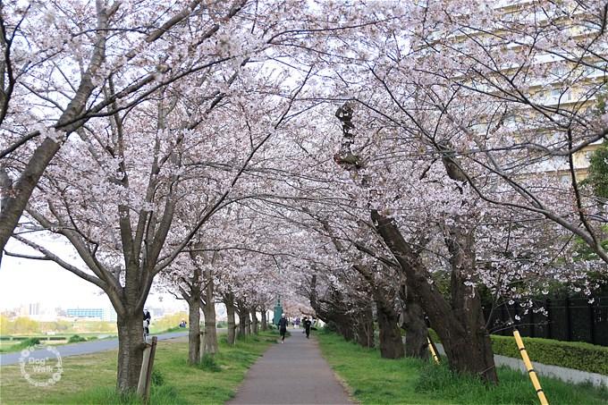 二十一世紀桜並木