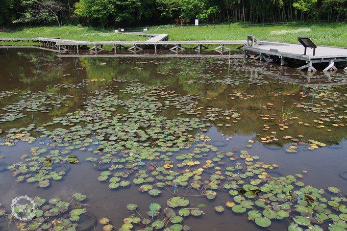 厳島湿性公園の蓮